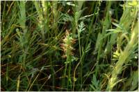 Spiranthes diluvialis image