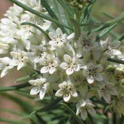 Image of Asclepias linaria