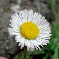 Image of Erigeron flagellaris