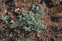 Image of Chenopodium salinum