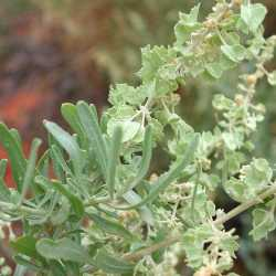 Image of Atriplex canescens