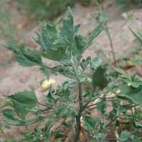 Image of Chenopodium berlandieri