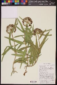 Image of Asclepias decumbens