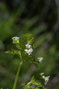 Image of Chaerophyllum texanum
