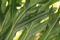 Image of Philodendron selloum