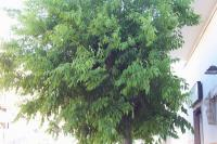 Image of Celtis australis