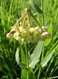 Asclepias meadii image