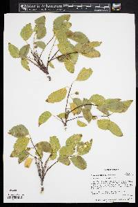 Image of Celtis glabrata