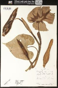 Image of Philodendron scandens