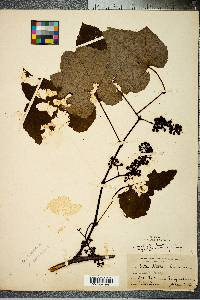Image of Vitis lecontiana
