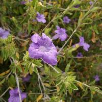Image of Ruellia californica