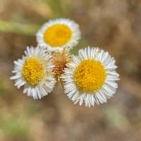 Image of Erigeron sceptrifer